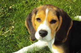 Бигль - активная и беспокйная собака