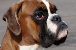 Бойцовский пес с добрыми намерениями и честной душой