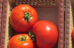 Отзыв о семенах томатов сорта Дебют F1