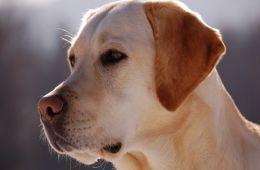 Собака - спасатель и поводырь