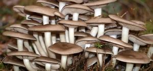 Как распознать ядовитый гриб