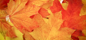 Как засушить кленовые листья