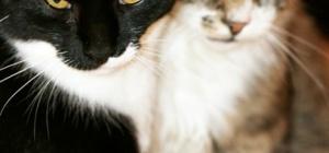 Как подружить взрослых кошек
