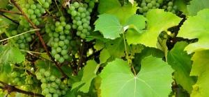 Как подрезать виноград