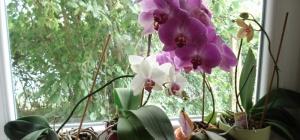 Как пересадить и ухаживать за орхидеей
