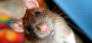Как сделать клетку для крысы
