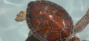 Как содержать дома морскую черепаху