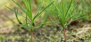 Как вырастить елку в домашних условиях