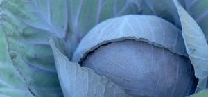 Как хранить свежую капусту