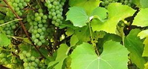 Как защитить виноград от болезней