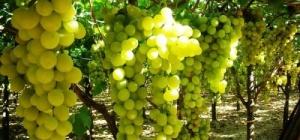Как лечить виноград от тли