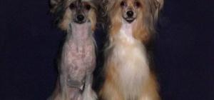 Как ухаживать за китайской хохлатой собакой
