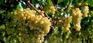 Как выращивать виноград