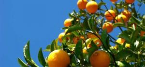 Как вырастить апельсин