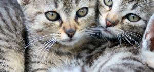 Как подружить котят