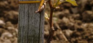 Как посадить виноград из черенка