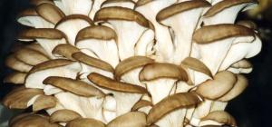 Как вырастить в своих условиях грибы вешенки