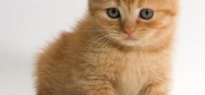 Как вывести кошачий запах