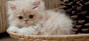 Как узнать пол котенка