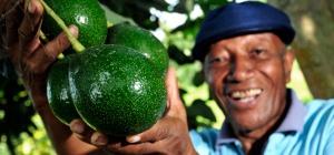 Как употреблять авокадо