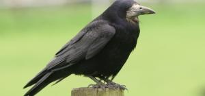 Как приручить  ворона