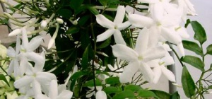 Декоративный жасмин: как размножать в домашних условиях