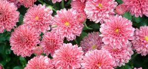 Как размножать хризантему
