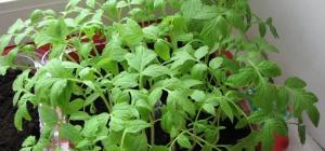Как вырастить крепкую рассаду