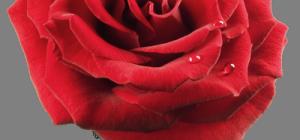Как дарить и принимать цветы