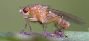 Как избавиться от мухи-дрозофилы