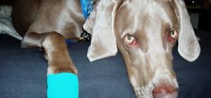 Как лечить лапу собаке