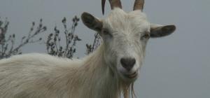 Как вырастить козу