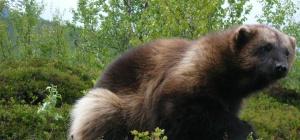 Как одомашнить дикое животное