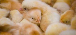 Как организовать птицеферму