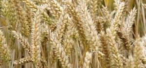 Как отличить рожь от пшеницы