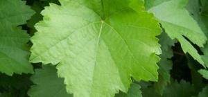 Как мариновать виноградные листья
