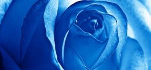 Как сделать голубую розу