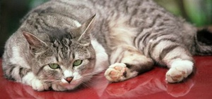 How to treat poisoning in the cat