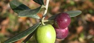 Как вырастить оливковое дерево