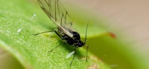 Как избавиться от цветочной мухи