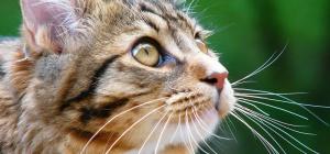 Как лечить кашель у кота