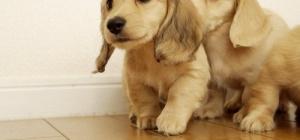 Как назвать щенка спаниеля