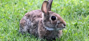 Как надеть шлейку на кролика