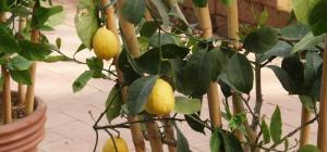 Как вырастить лимон из черенка