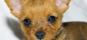 Как приучить щенка той-терьера к лотку