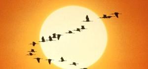 Куда улетают дикие гуси, утки, журавли