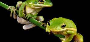 Как определить пол лягушки