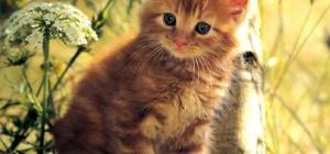 Как назвать рыжего котенка-мальчика