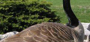 Куда улетают гуси