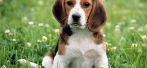 Как нужно кормить собаку и чем